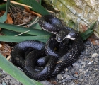 <h5>Our biggest black snake</h5><p>																																																																																					</p>