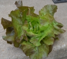 <h5>Red lettuce from the garden</h5><p>																																																																				</p>
