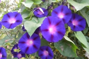 <h5>Morning glories</h5><p>																																																																				</p>